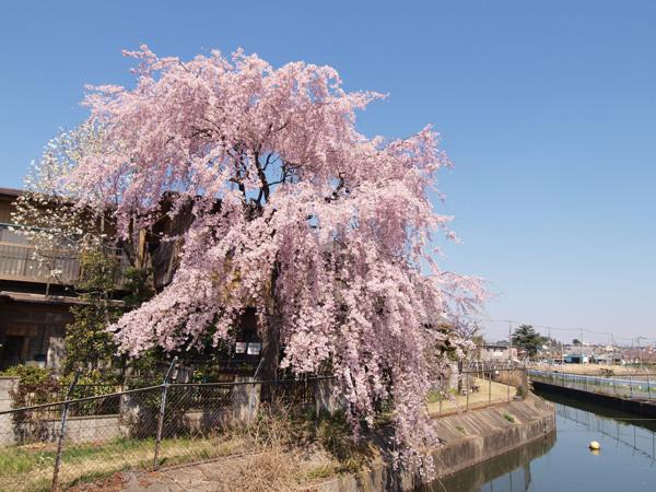 1104見沼西縁のしだれ桜.jpg