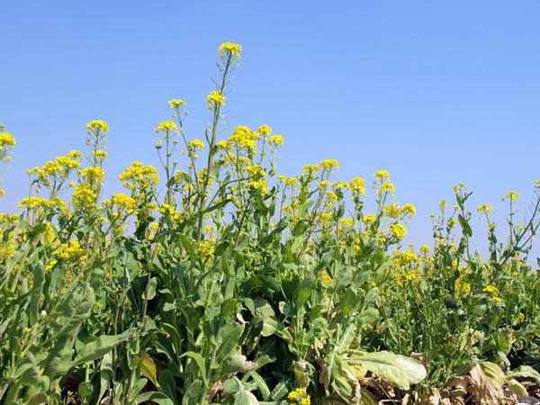 1104見沼西縁の菜の花1.jpg